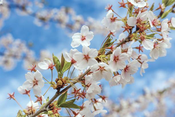 Sakura cherry blossoms over blue sky stock photo