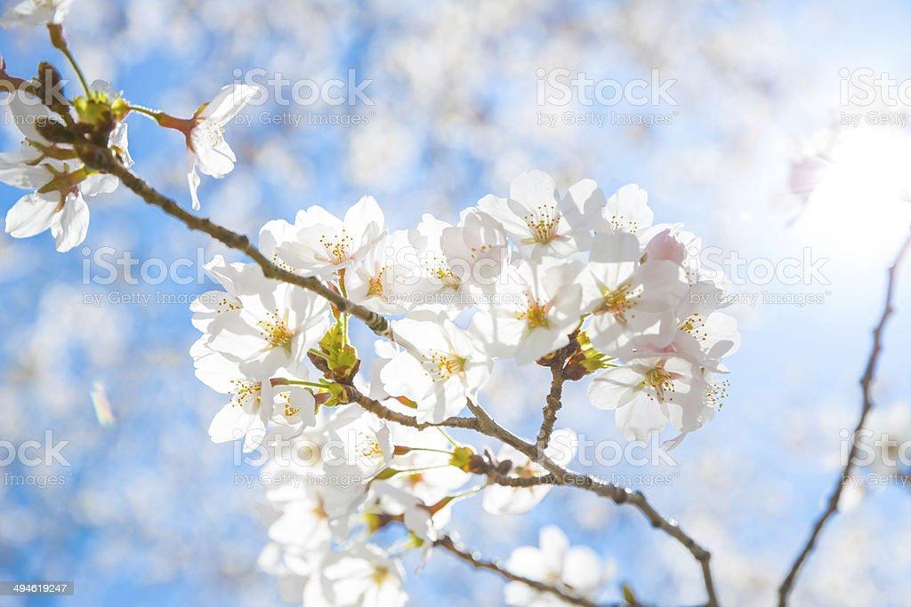 Sakura cherry Blossoms royalty-free stock photo