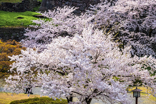 Sakura cherry blossoms trees in park or garden on sunshine day, many soft pink full bloom sakura trees next traditional Japanese lantern , sakura garden background in spring season, Japan.