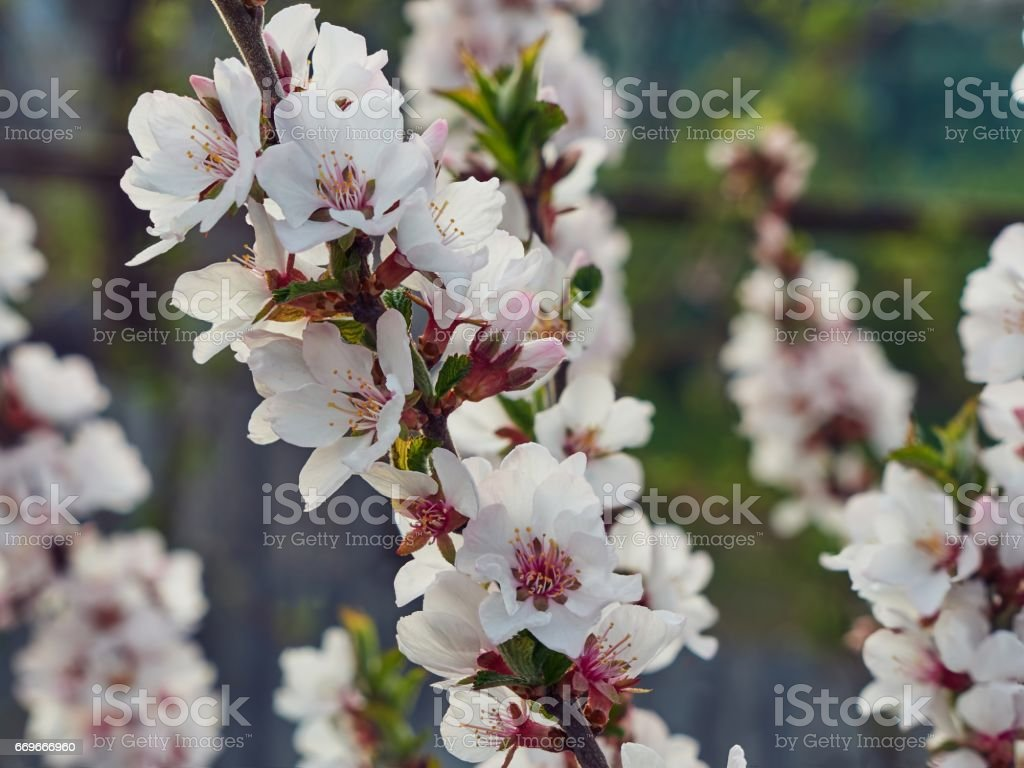 Sakura Cherry Plum Flower Branch In Spring Garden Pink And White