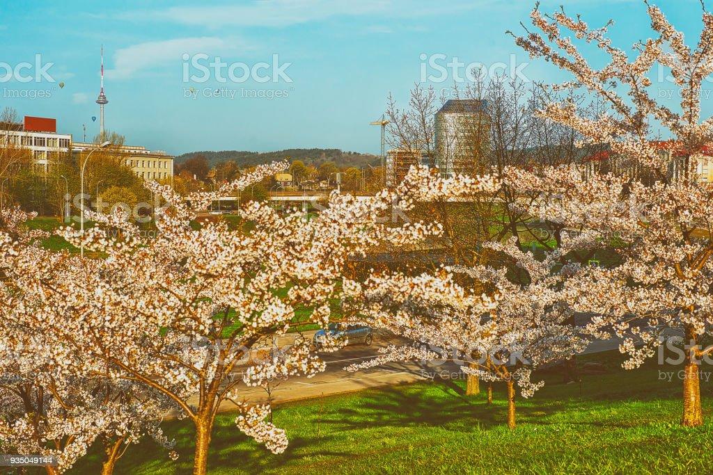 Sakura Kirschbaum Blumen Bluhen Im Fruhjahr Japanischer Garten Stock
