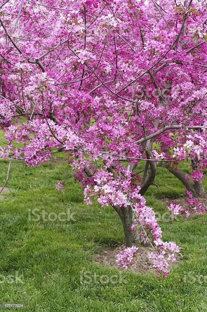 Sakura Cherry Tree royalty-free stock photo