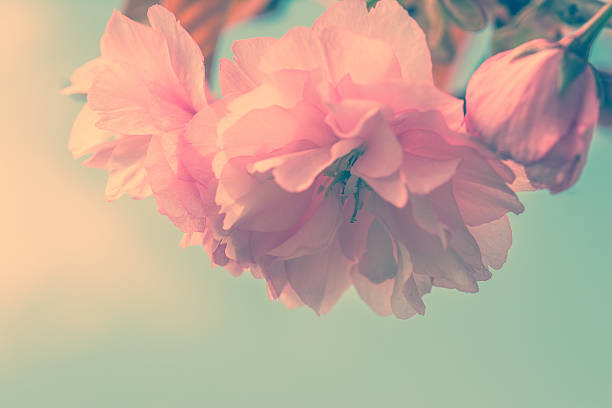 sakura flower cherry blossom. - vintage flowers stock photos and pictures