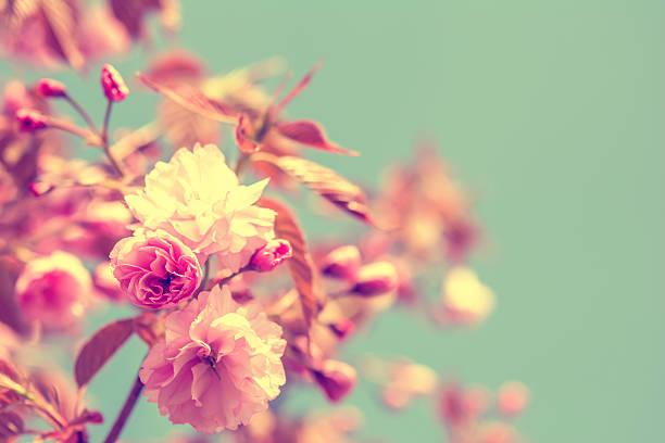 Sakura flower cherry blossom. stock photo