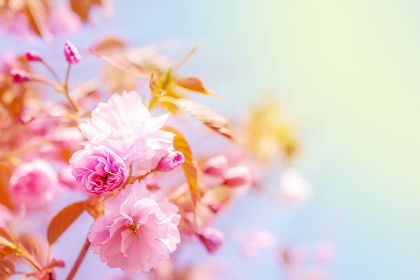 Sakura flower cherry blossom picture id504699216?b=1&k=6&m=504699216&s=612x612&w=0&h=7vkocjp95xtf5bd4naaim6vaayvatay8heumcwl71vm=
