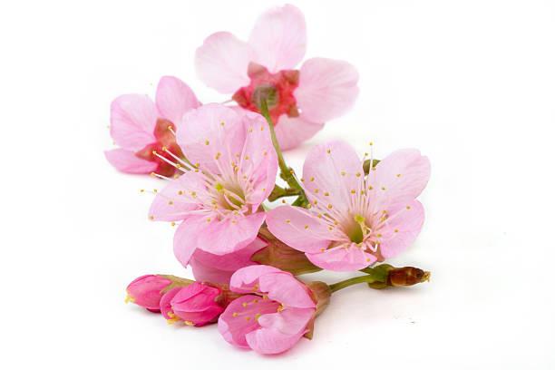 Sakura flower isolated picture id503764254?b=1&k=6&m=503764254&s=612x612&w=0&h=fqdhqs8gxem7bmyd4iavvmbtckbdvzqdoq8xcwqa04c=