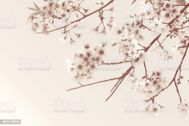 Sakura flower or cherry blossom on brown tone color picture id660246830?b=1&k=6&m=660246830&s=612x612&h=e9bpt3865 gl3wgkg3jq hv9p2iwck4u2uqwyw3nahg=