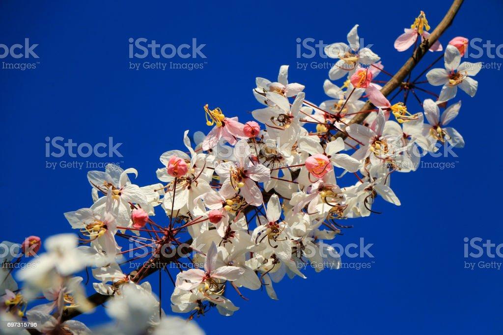 Sakura flower stock photo