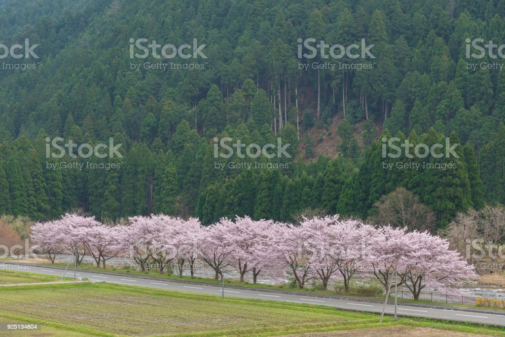 sakura flower road stock photo