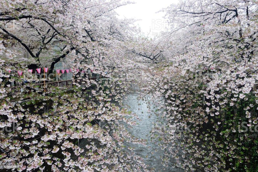 sakura flower season royalty-free stock photo