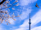 The Bouquet of Sakura Flowers Blooming behind The Tokyo Skytree and Pigeon Flying in The Sky