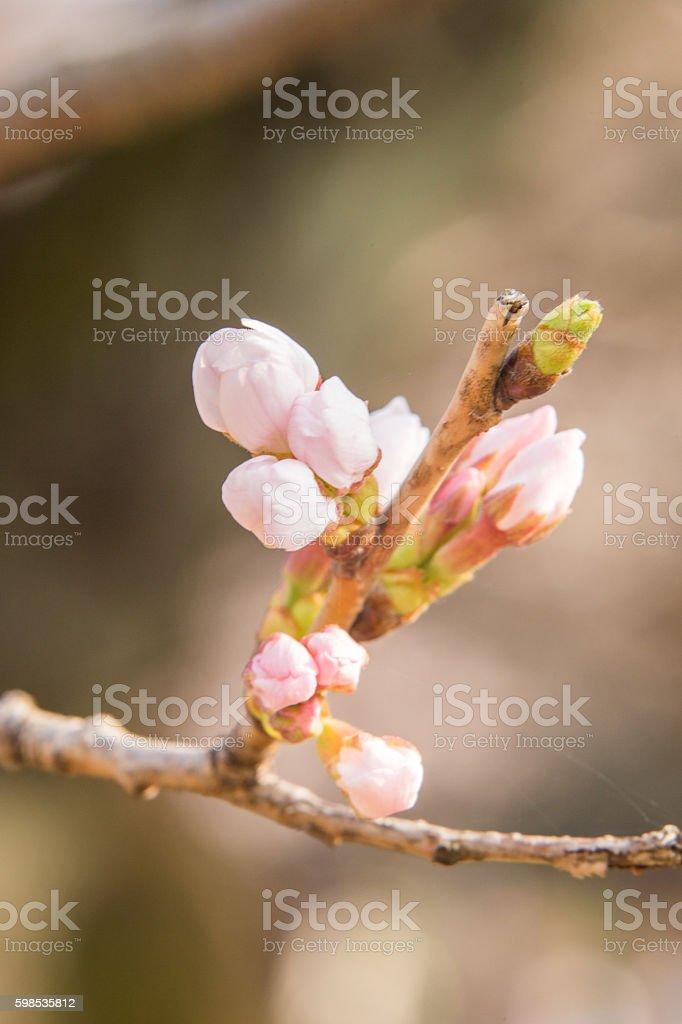 Yoshino arbre de cerisier (Sakura) au Japon photo libre de droits
