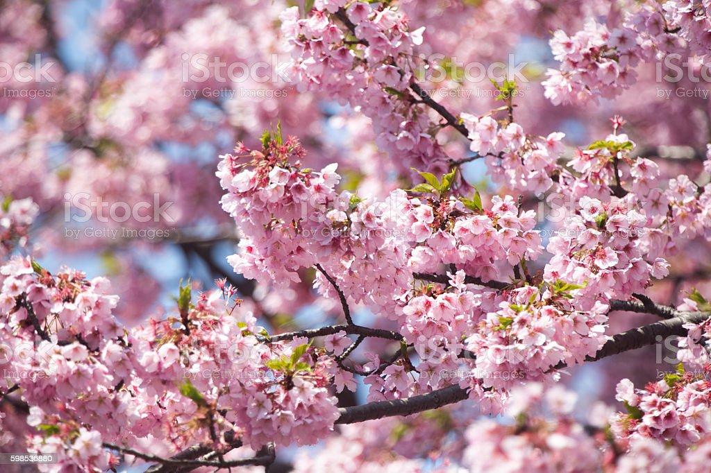 Sakura (Sakura Kan) au Japon photo libre de droits