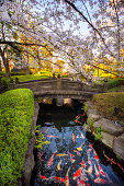 April 3, 2019 - Tokyo, Japan: Japanese Garden pond with koi fish carp in the public park near sensoji temple in sakura season. Tokyo, Japan
