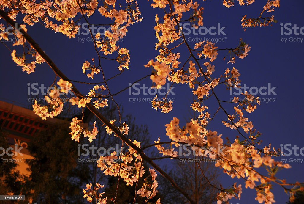 sakura in night stock photo