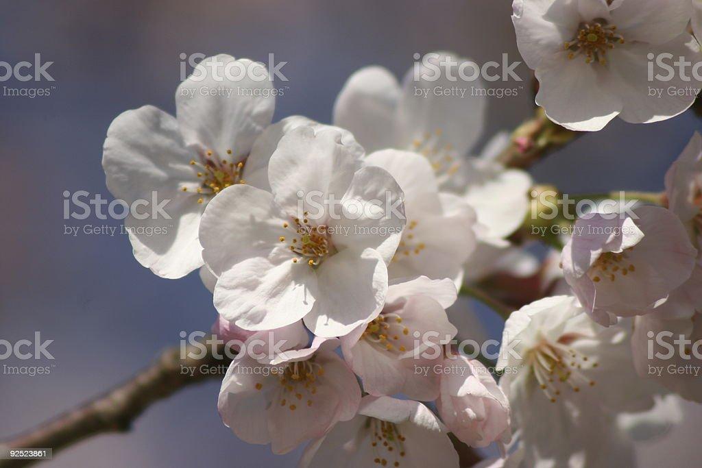 Sakura in sunlight royalty-free stock photo