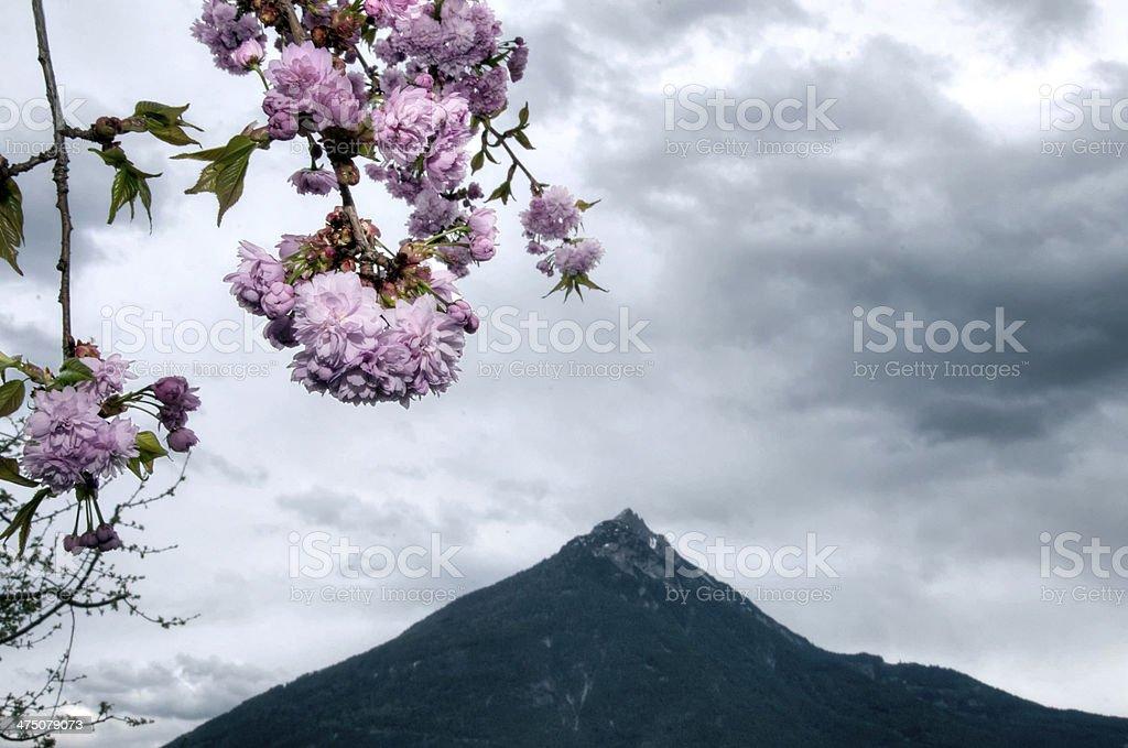 Sakura in the alps royalty-free stock photo