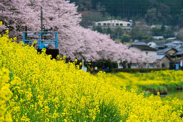 sakura in yufuin village, kyushu, japan - 91483703 ストックフォトと画像