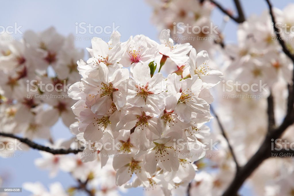Sakura, japanese cherry blossum. royalty-free stock photo