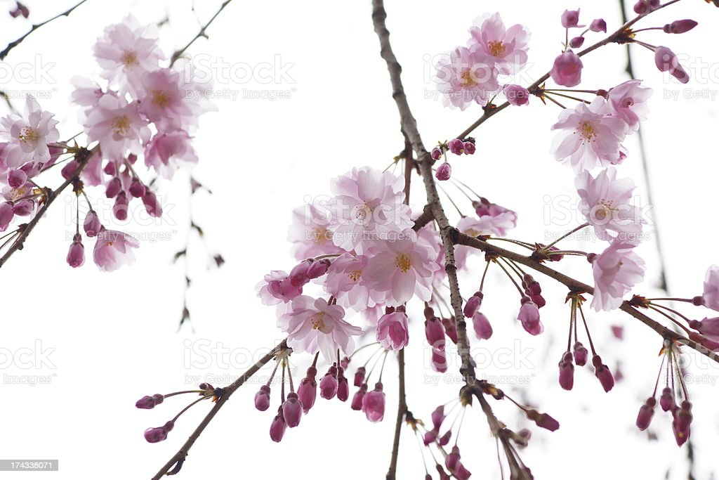 sakura of japan stock photo