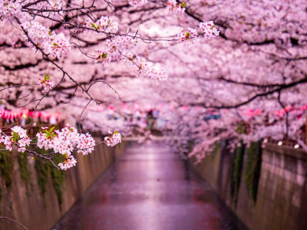 Sakura on Meguro River, Tokyo, Japan stock photo