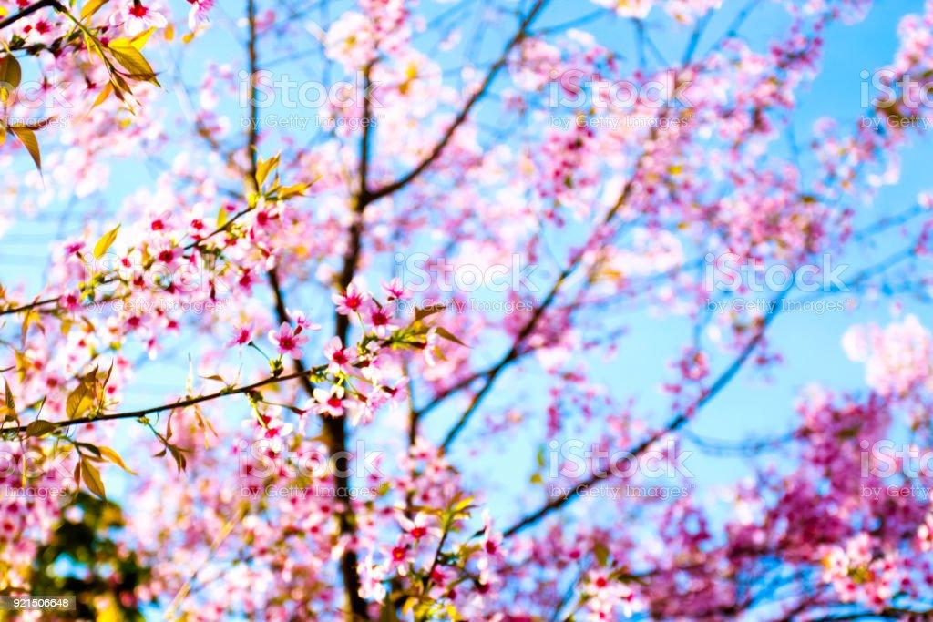 Sakura or cherry blossom on blue sky background stock photo