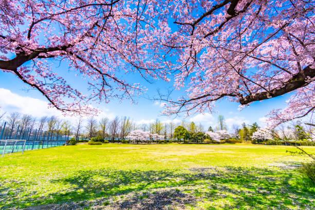 Sakura- oder Kirschblütensaison in Japan – Foto