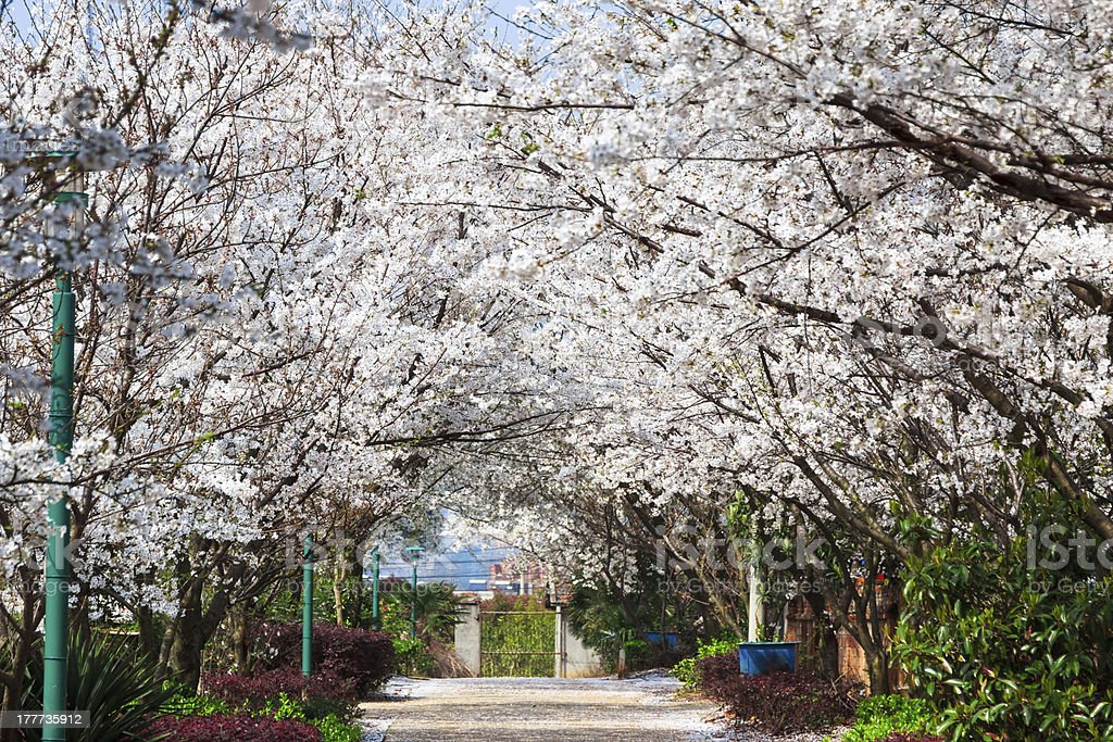 Sakura path royalty-free stock photo