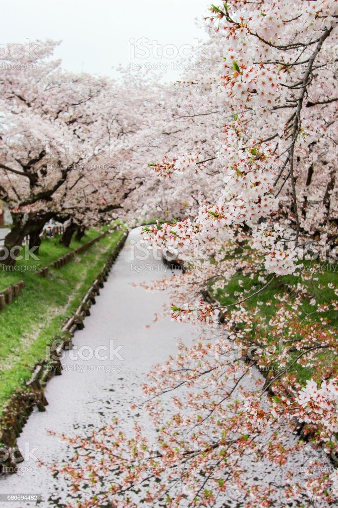 Sakura petals covering Shingashi River,Kawagoe,Saitama,Japan in spring. royalty-free stock photo