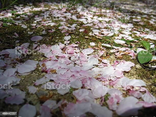 Sakura petals picture id488442207?b=1&k=6&m=488442207&s=612x612&h=qdujwmv0e7r a2hf2fbrh kfkvzaarwotv 4mnuq1ss=