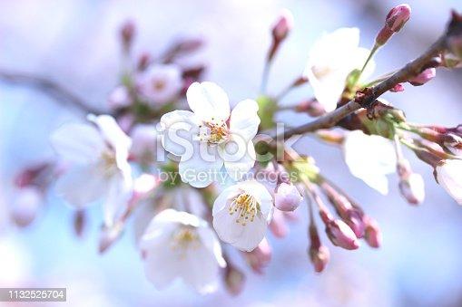 sakura (someiyoshino)