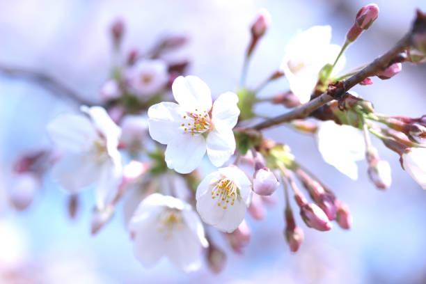 Sakura picture id1132525704?b=1&k=6&m=1132525704&s=612x612&w=0&h=zbbds97kgudlsemvqdvsmfmbcz01bnqp8geonklfm1y=