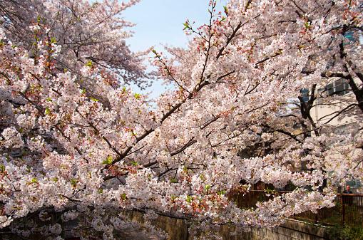 sakura in blue sky