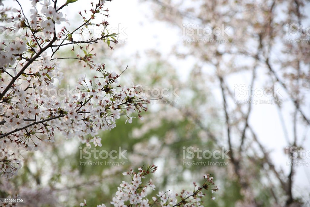 Sakura stock photo