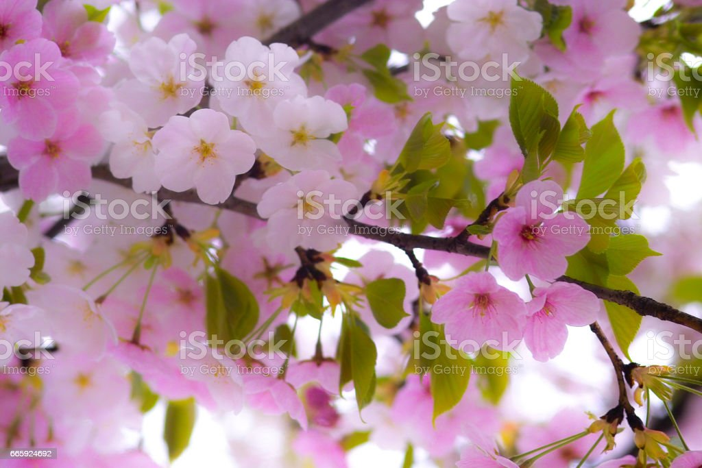 Sakura foto stock royalty-free