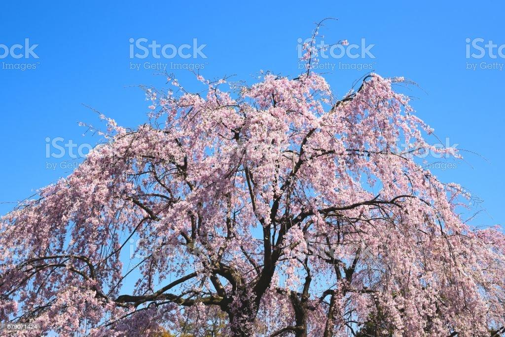 Cerisier A Fleurs Pleureur Photos Et Images Libres De Droits Istock