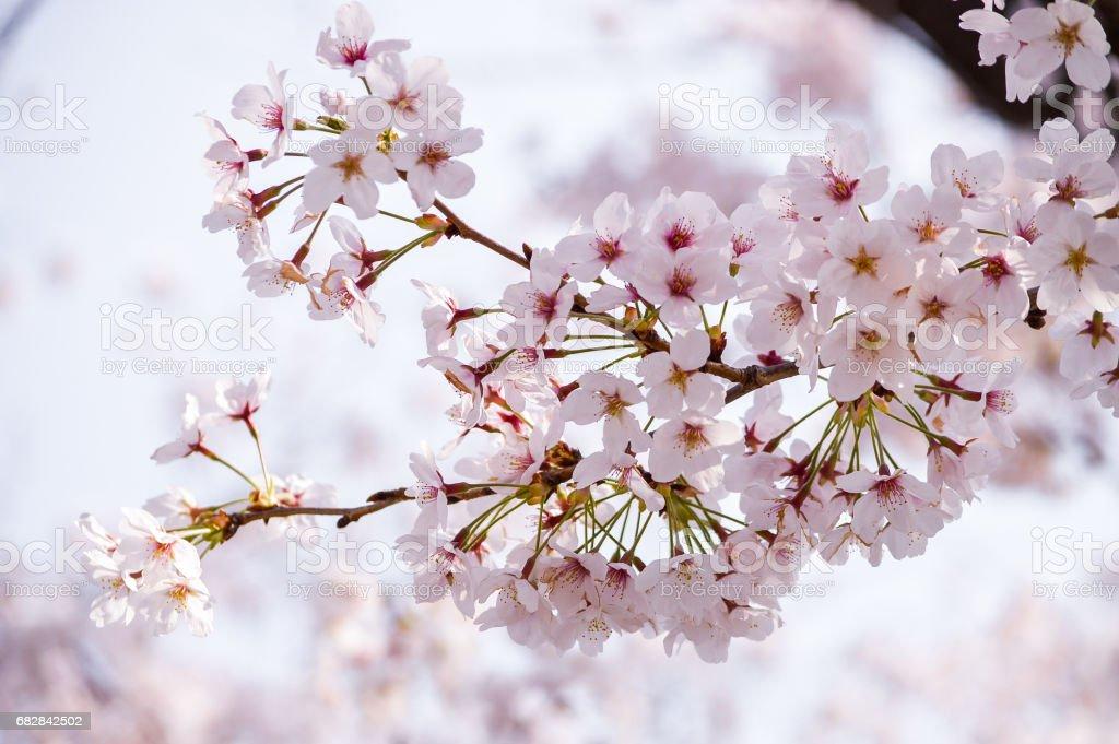 """""""Sakura"""" Lizenzfreies stock-foto"""