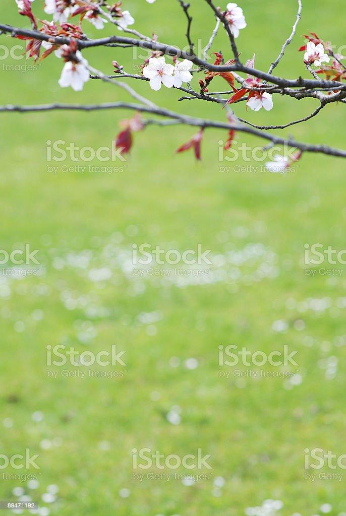 Сакура Стоковые фото Стоковая фотография