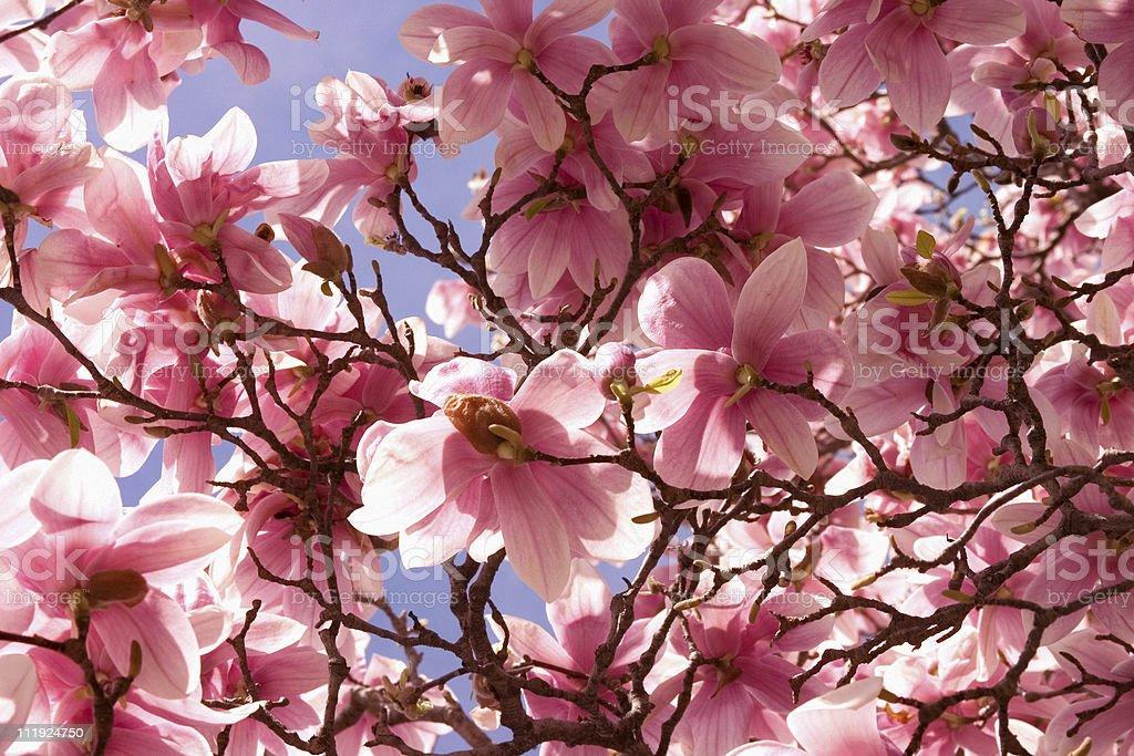 Carta Da Parati Fiori Di Ciliegio : Sakura rosa fiore di ciliegio carta da parati fotografie stock e