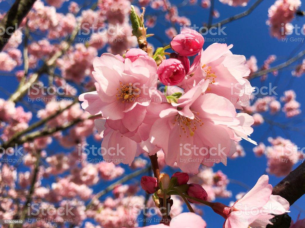 Sakura Pink cherry flower blooming stock photo