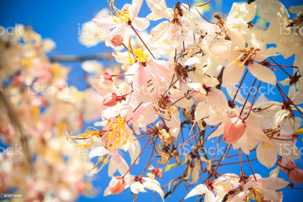 sakura pink flower stock photo