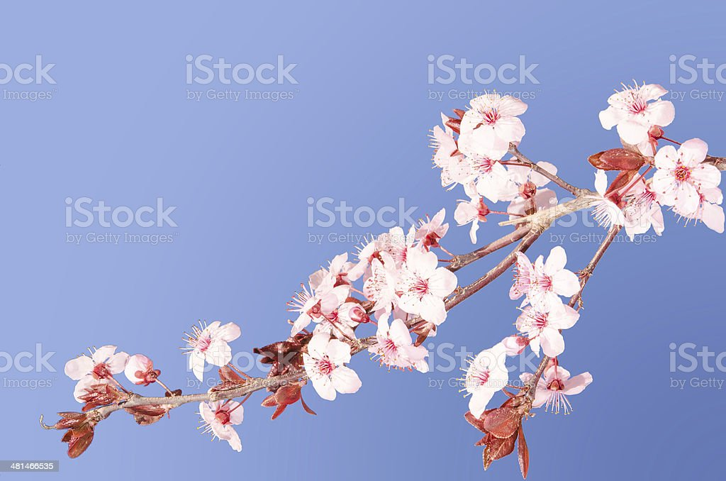 Sakura pink Japanese cherry blossom branch stock photo