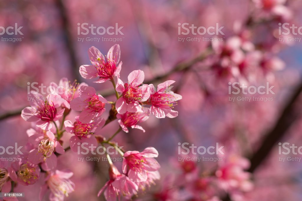 Sakura Thailand stock photo