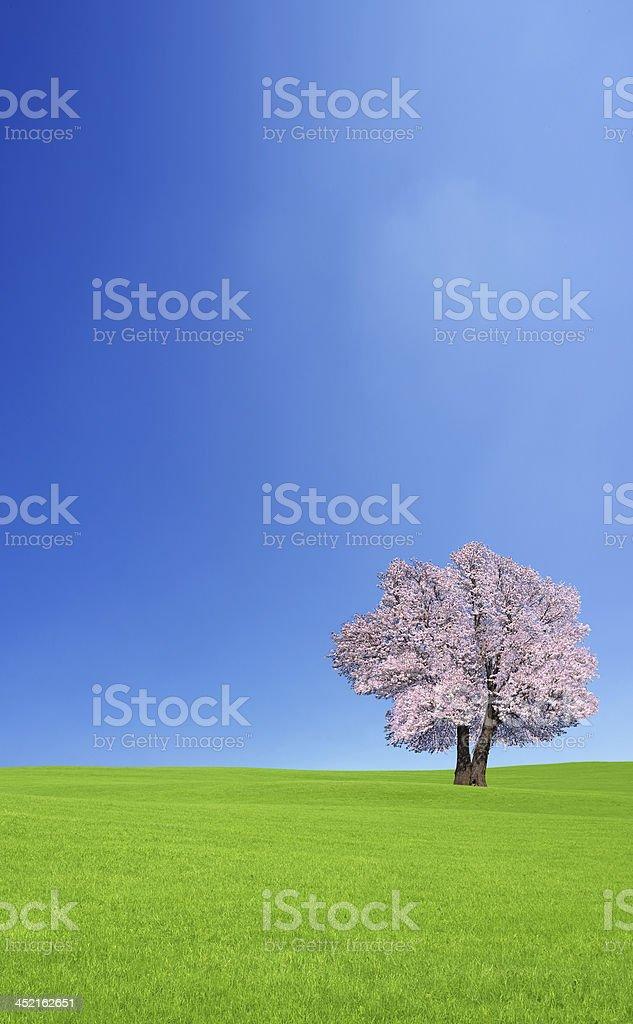 Sakura tree on the green hill. royalty-free stock photo