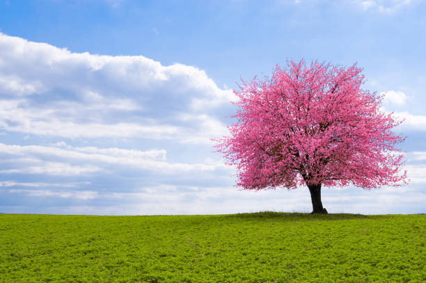 sakura tree on the horizon A blossoming cherry tree sakura on a horizon. Flowering tree of Japanese cherry sakura on green meadow. An old tree with a distinctive stem with pink flowers during the spring. blossom stock pictures, royalty-free photos & images