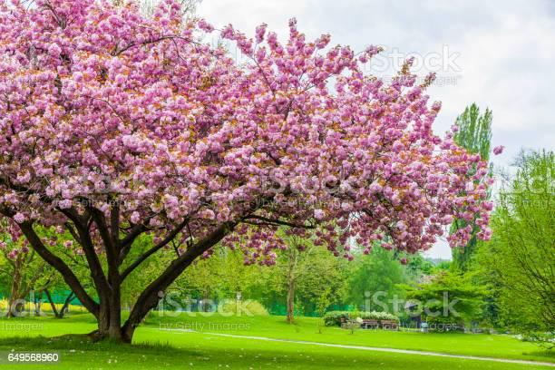 Sakura tree picture id649568960?b=1&k=6&m=649568960&s=612x612&h=lwridbnaz3srixgwwiivnfxupsiavpir py5rsrdbqo=