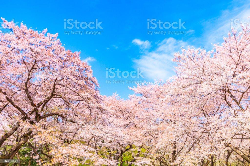 日本の青い空を背景に桜の木 - おしべのロイヤリティフリーストックフォト