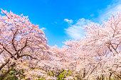 日本の青い空を背景に桜の木