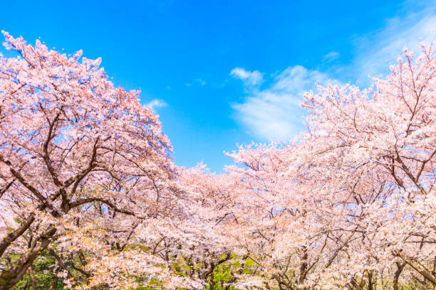 Sakura-Baum mit blauem Himmelshintergrund in japan – Foto