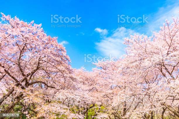 日本の青い空を背景に桜の木 - おしべのストックフォトや画像を多数ご用意